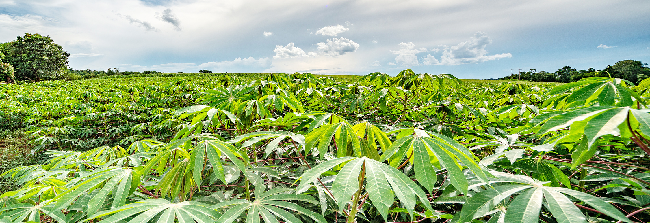 Organic Cassava Fields